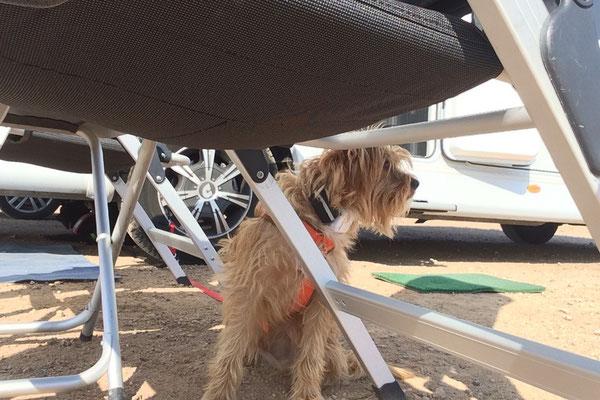 Cheevi hält ständig Ausschau nach fremden Hunden, die er anbellen kann