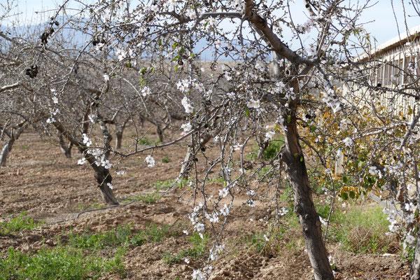 Mandelblüte im Januar