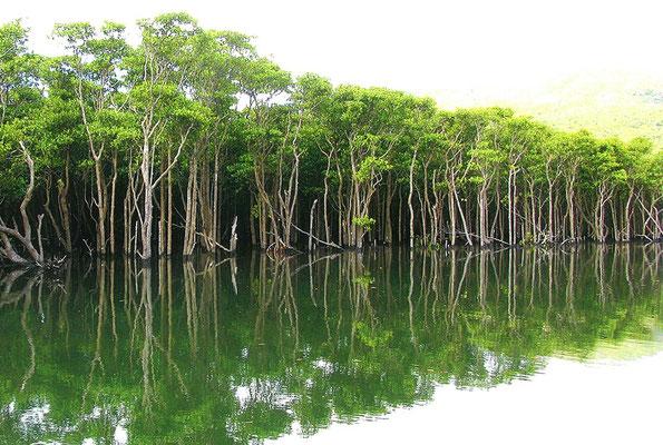 Mangroves Iriomote Okinawa