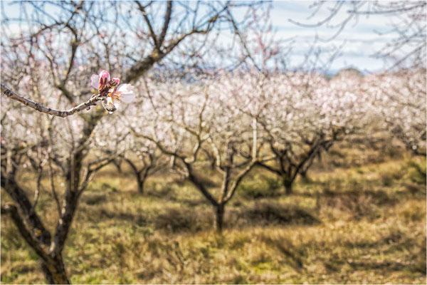 Aragon les amandiers sont en fleur le 14 février 2016