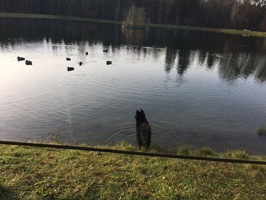 ... aber die blöden Enten darf man (Hund) nicht jagen sondern nur anschauen...