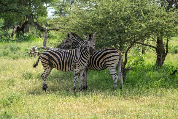 Eine Gruppe Zebras steht im Schatten....