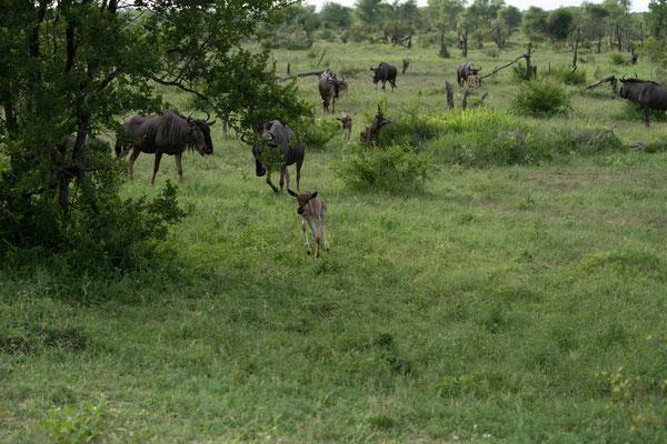 diesmal eine größere Herde.