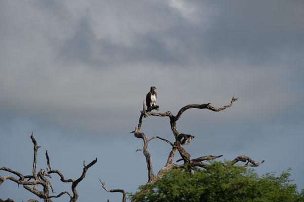 Ein Kampfadler, der größte Adler Afrikas (Danke Ingo K.), beobachtet....