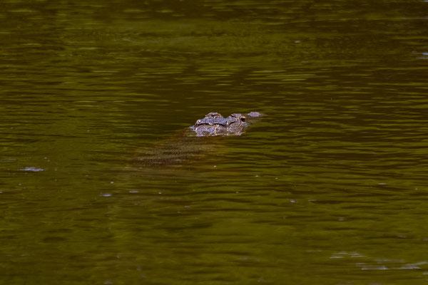 Ein Krokodil liegt auf der Lauer