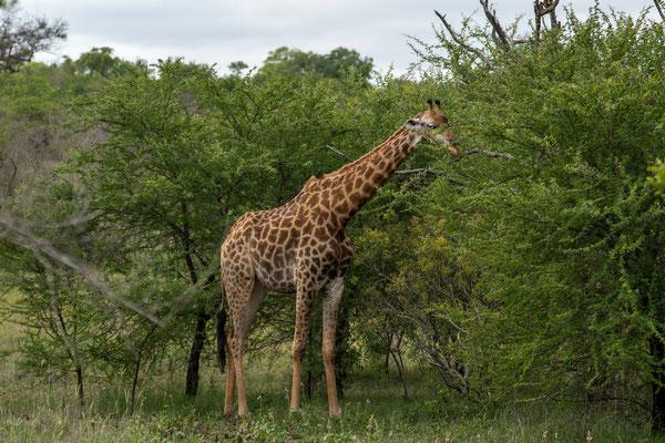 Wir beobachten Giraffen beim Fressen....