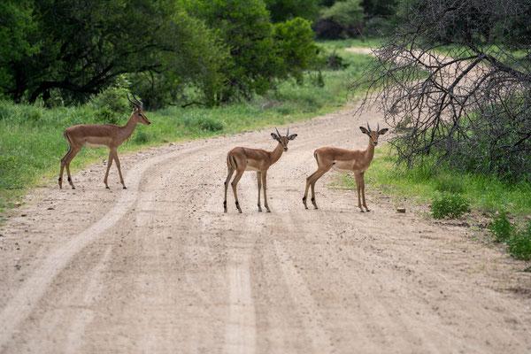 Impalas sehen uns beim Fotografieren zu....