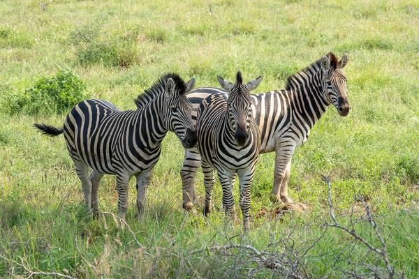 sieht man beim linken Zebra....