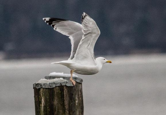 Steppenmöwe (adult) (Foto: Ursula Wiegand)