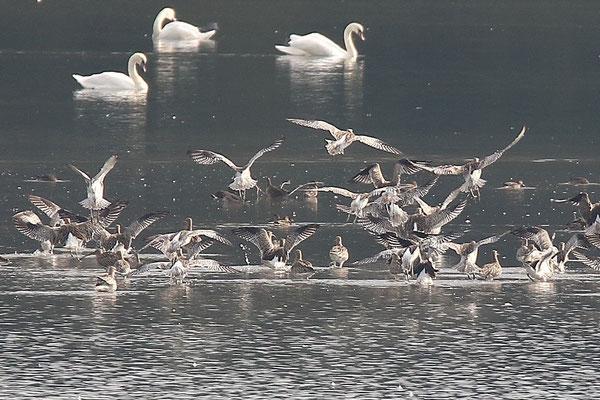 Brachvogelschwarm (Foto: Peter Witzan)
