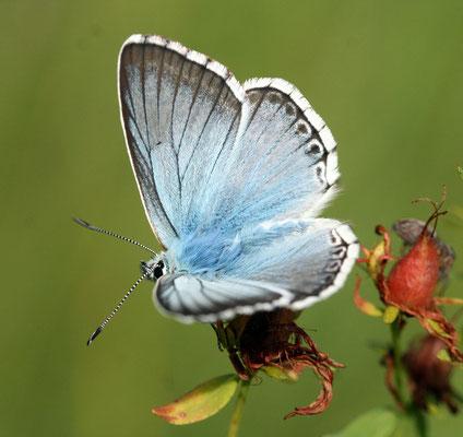 Silberbläuling Männchen