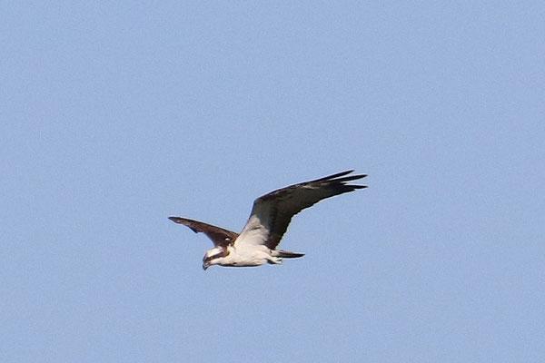 Fischadler (Foto: Peter Witzan)