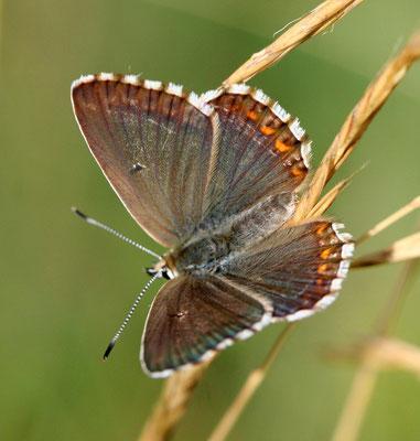 Silberbläuling Weibchen