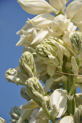 Yucca rostrata-Büten (c) Thomas Boeuf