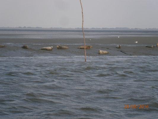 Seehunde kurz vor dem Vareler Hafen