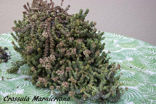 Crassula marnieriana