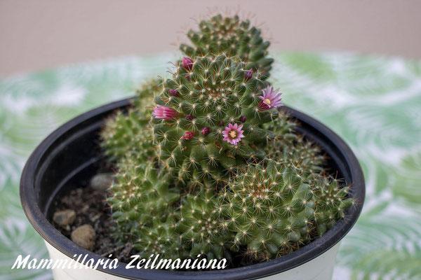 Mammillaria zeilmaniana