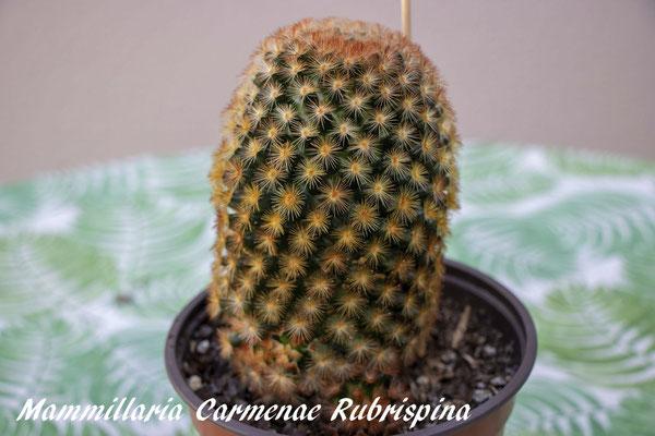 Mammillaria carmenae rubrispina