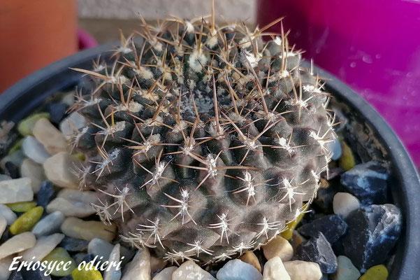 Copiapoa Humilis Tenuissima