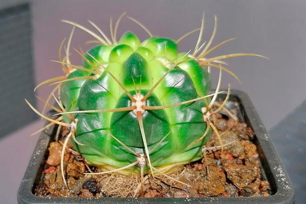 Gymnocalycium Monvillei
