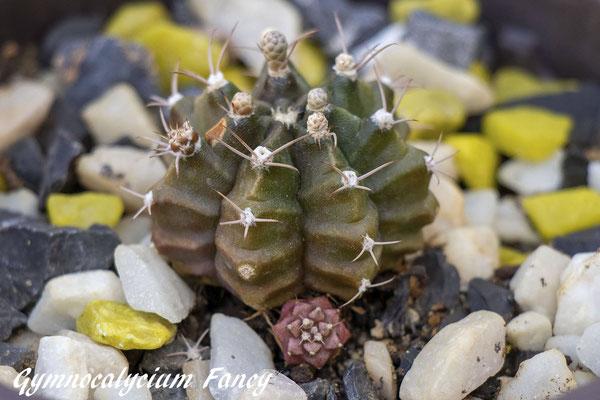 Gymnocalycium cv Fancy