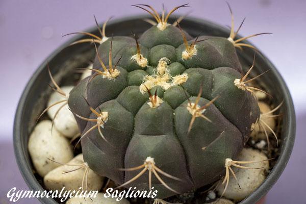 Gymnocalycium pflanzii