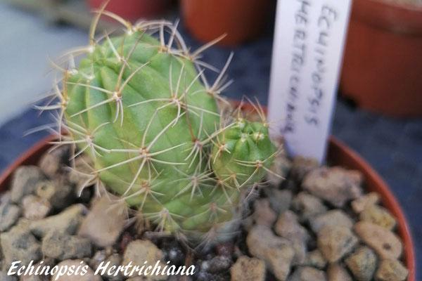 Echinopsis hertrichiana