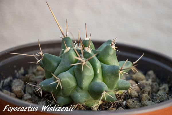 Ferocactus Wislizenii