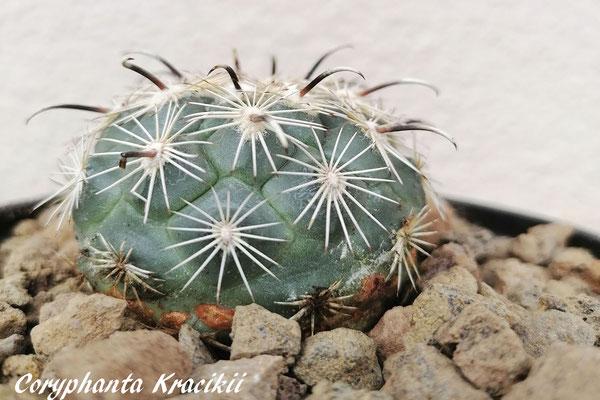 Coryphantha kracikii