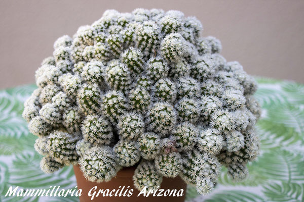 Mammillaria gracilis cv arizona