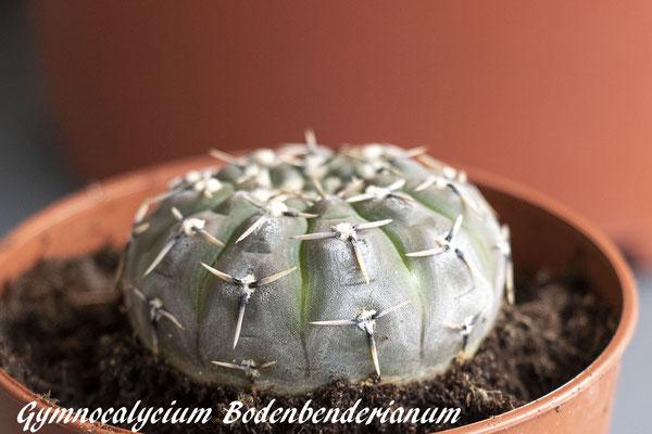 Gymnocalycium bodenbenderianum-2