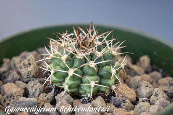 Gymnocalycium schikendantzii ssp delaetii