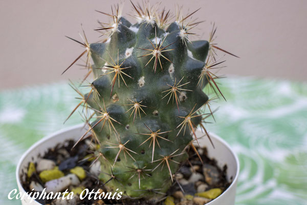 Coryphanta ottonis