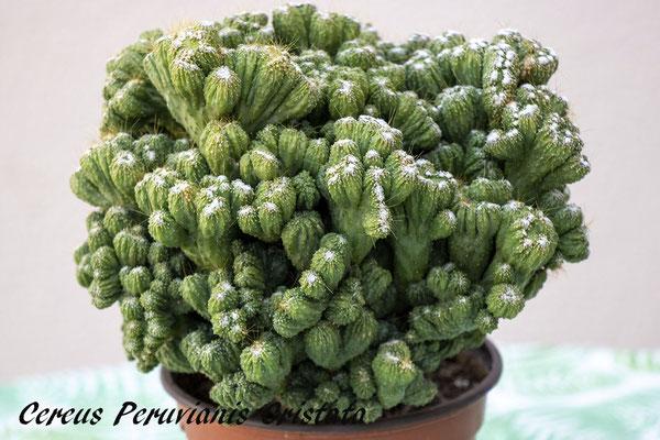 cereus peruvianus cristata