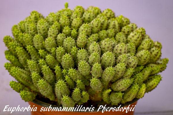 Euphorbia submammillaris fma. Pfersdorfii