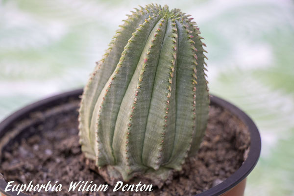 Euphorbia cv William Denton