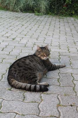 """Der majestätische """"Tiger"""" ist auch am Schrammelhof anzutreffen."""