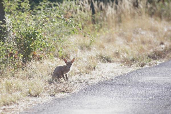 Jeune renard galleux