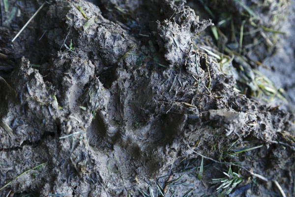 J'ai passé 3 jours chez Jacques et Sylvie Rime, et on a pu voir des traces de lynx et les castors qui suivent