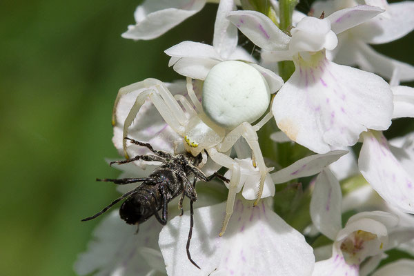 Araignée et sa proie sur une orchis tachetée