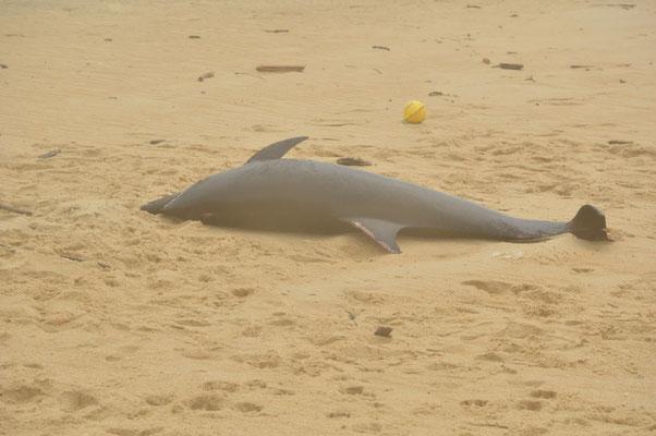 dauphin échoué à Tarnos