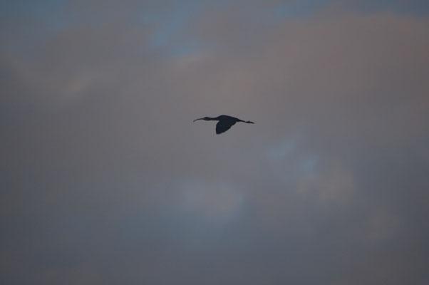 Ibis falcinelle le matin du 1er mars