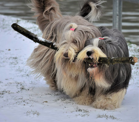 Bearded Collie  Sparkling-Miracle-Beardies.de