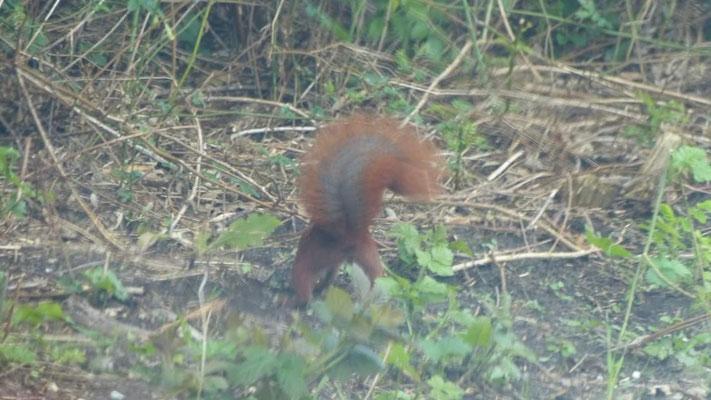 Ein Meldorfer Eichhörnchen