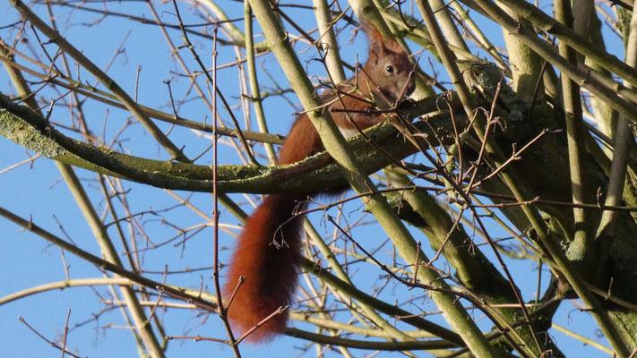 Ein Heider Eichhörnchen
