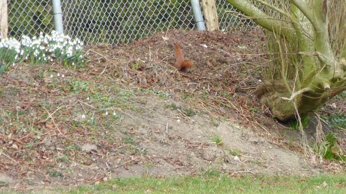 Ein Hemmingstedter Eichhörnchen