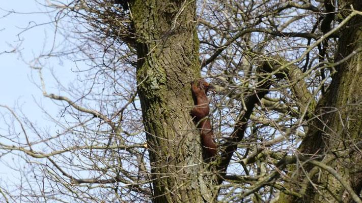 Ein Husumer Eichhörnchen