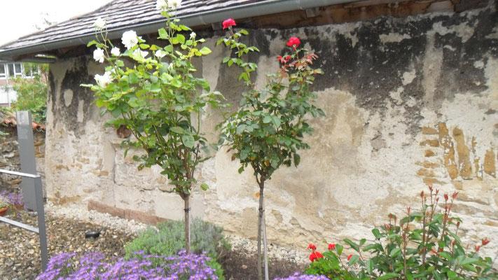 Lichtensteiner Rosen im Klostergarten