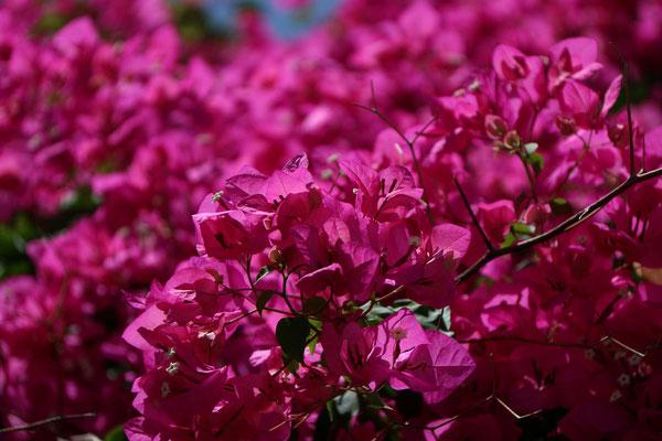 ein Rausch in rosa - Bougainvillea
