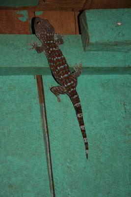Ein Tokeh, Riesengecko in unserem Schlafzimmer